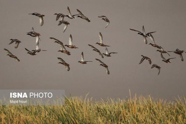 تالاب میقان اراک میزبان 6 هزار قطعه پرنده مهاجر