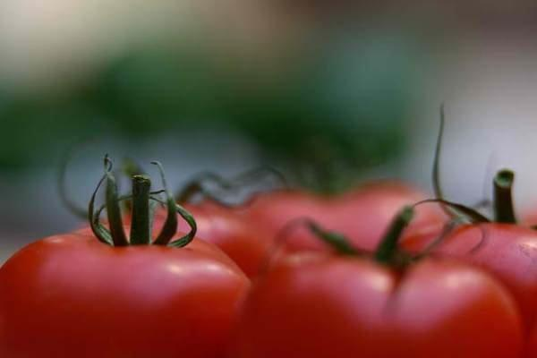 ممنوعیت صادرات گوجه فرنگی ابلاغ شد