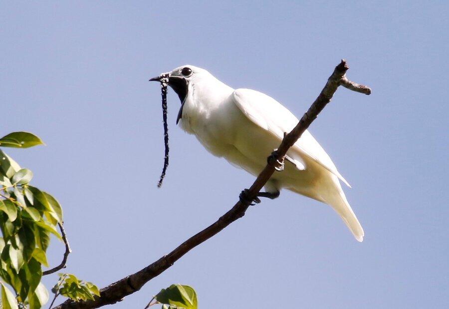 فیلم ، آواز کرکننده مرغ زنگوله ای سفید رکورد بلندی صدای پرندگان را می شکند