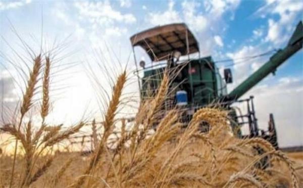 رشد 3.2 درصدی کشت گندم دیم در سال زراعی جاری