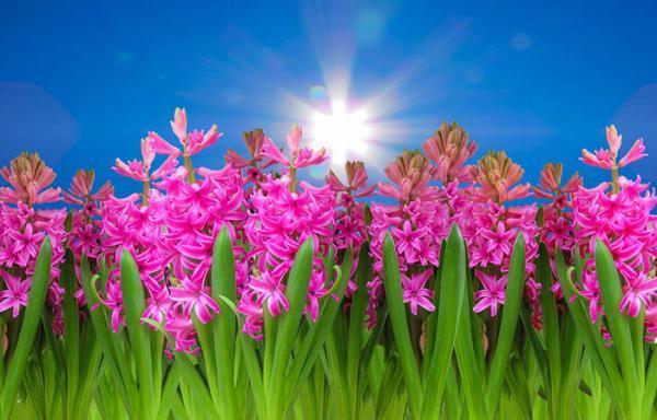 مجموعه عکس گل سنبل؛ 33 عکس زیبا و جذاب برای پروفایل